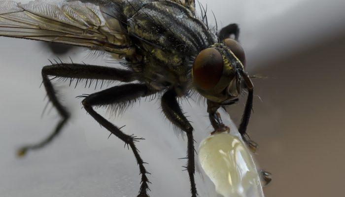 Муха села на варенье: почему нужно защищать свою еду от этих насекомых