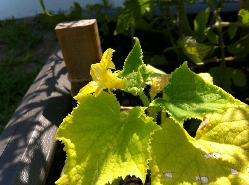 Огородные дела: почему у огурцов желтеют листья и как с этим бороться