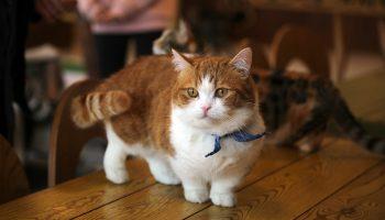 До старости – котенок: самые маленькие породы кошек