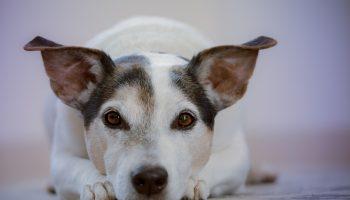 Продолжайте говорить: исследование показывает, что собаки обрабатывают речь, как и люди