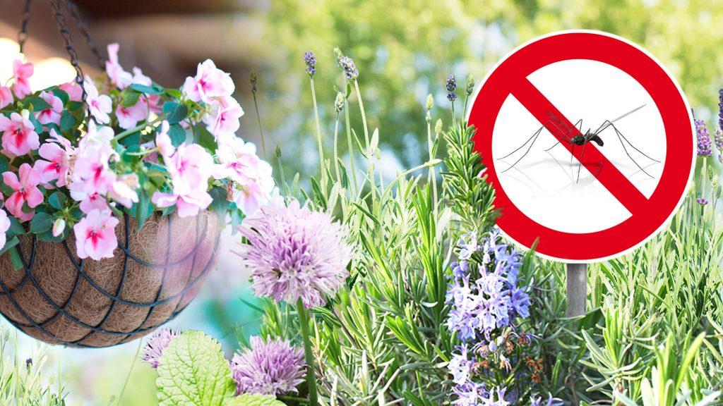 Благодаря аромату: растения, которые отпугивают своим запахом комаров и других насекомых